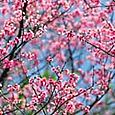 Cherry_blossoms