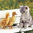 Ducklings_cat